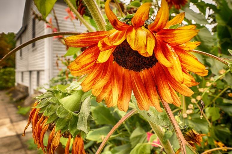 Sunflower 9-13