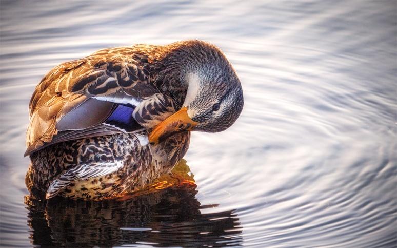 100-400 duck 2