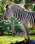 Zebra half 100-400